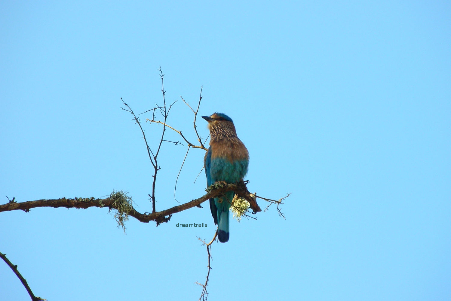 Indian Roller, Bandipur National Park, Karnataka