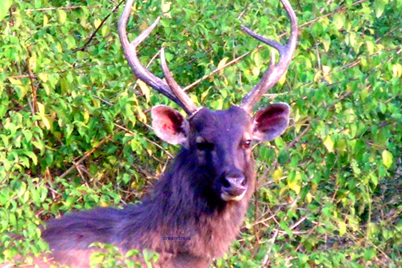 Sambar Deer, Bandipur National Park, Karnataka