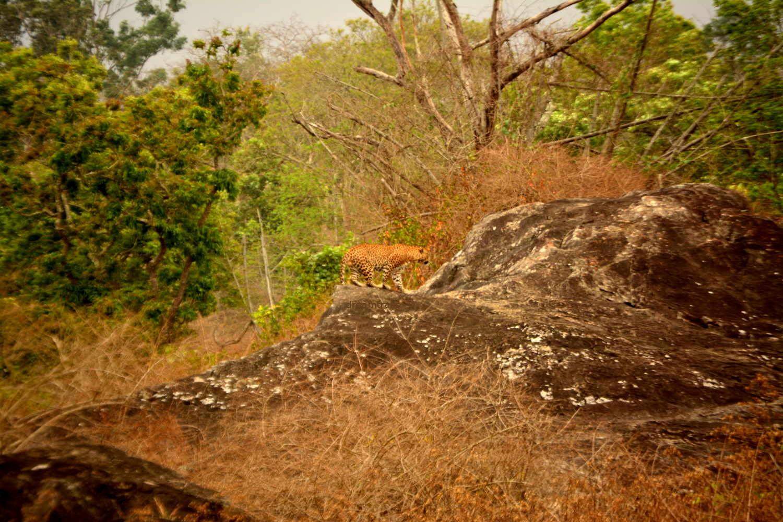 Leopard, Bandipur National Park, Karnataka