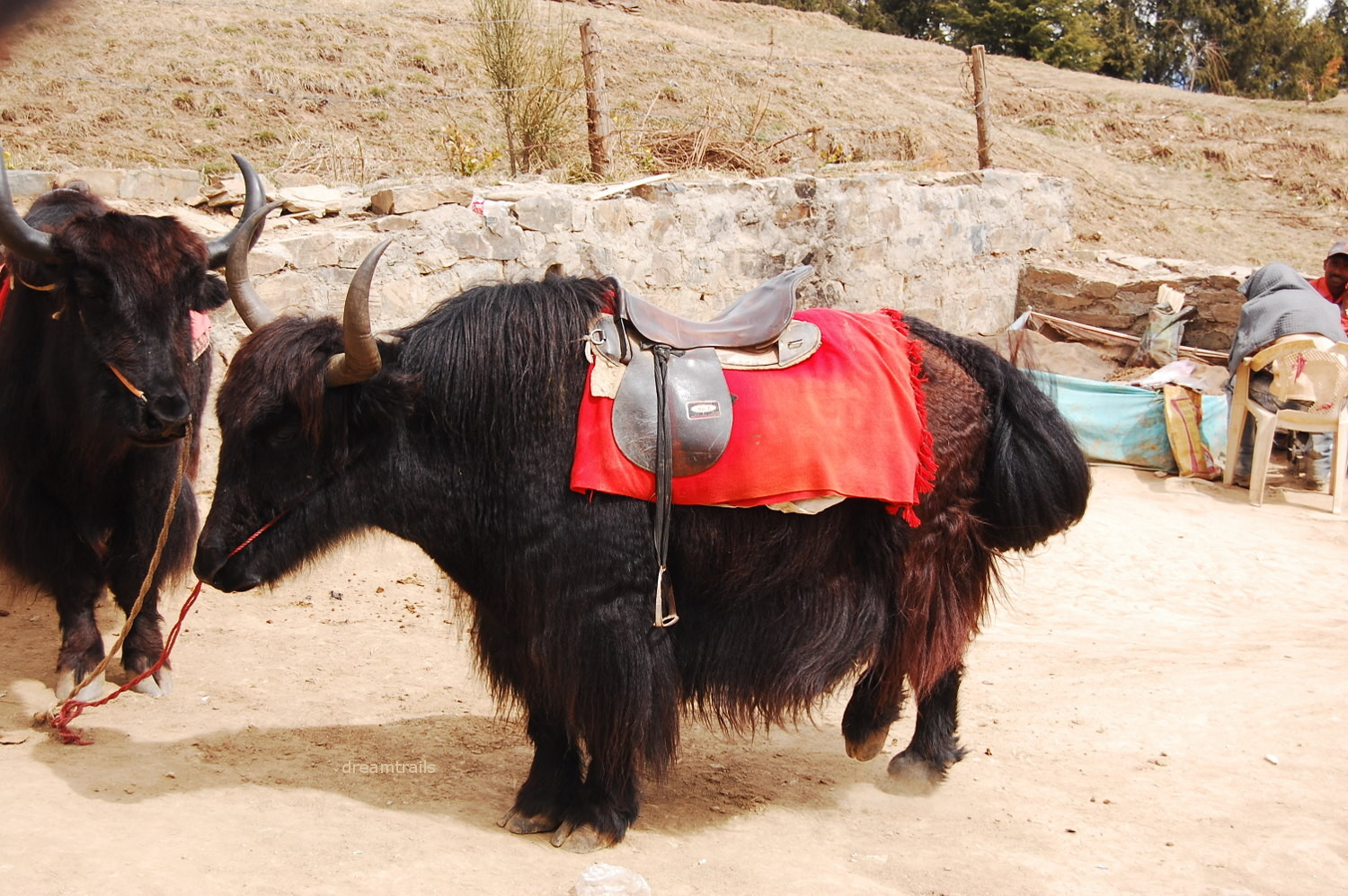 Yak for visitors' entertainment :-(