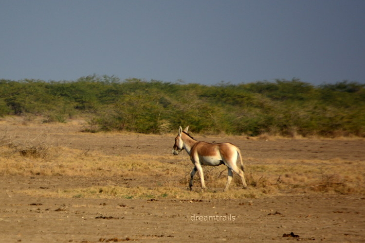 Wild Ass Sanctuary - Little Rann of Kutch