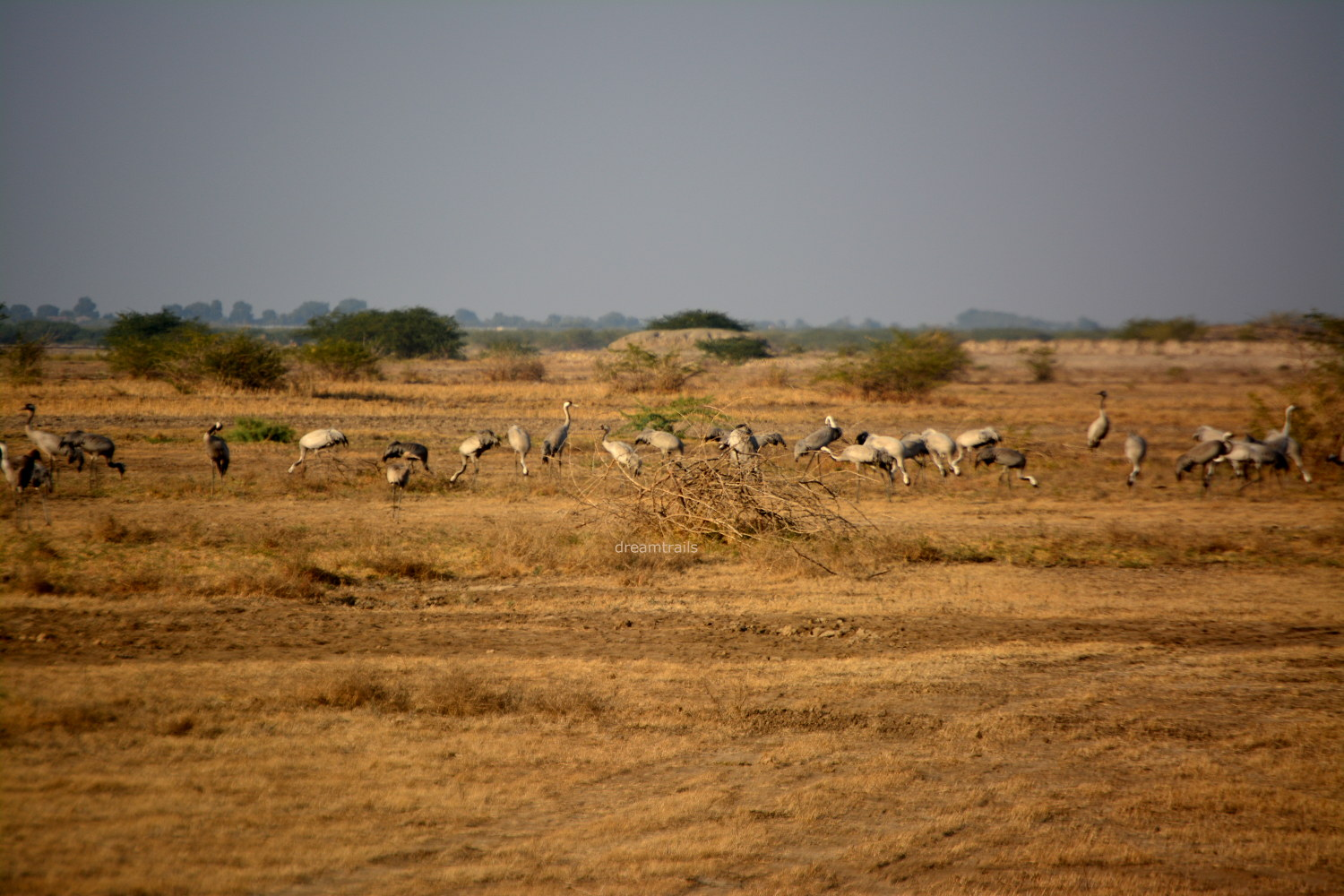 Common Cranes: Little Rann of Kutch