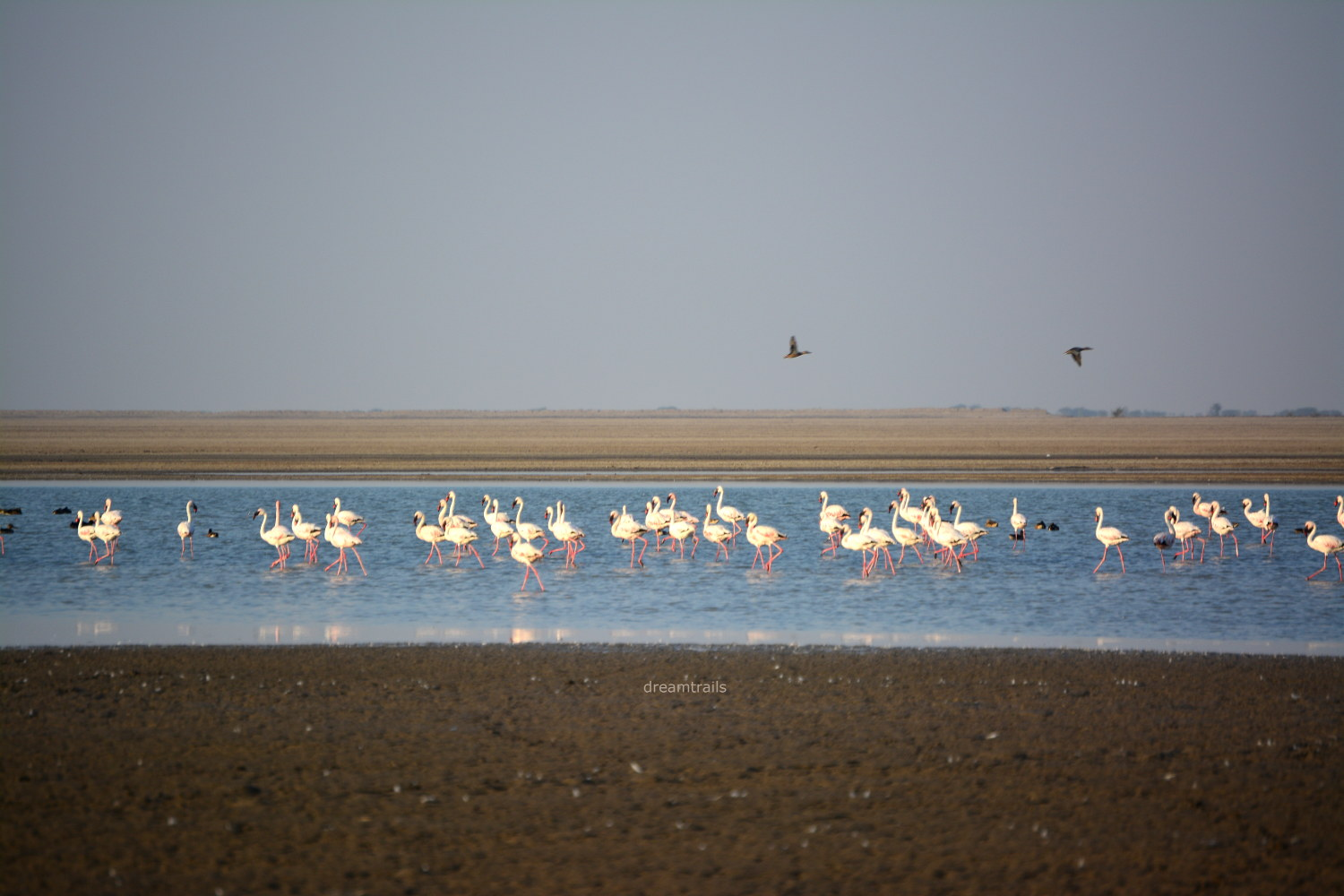 Flamingos: Little Rann of Kutch