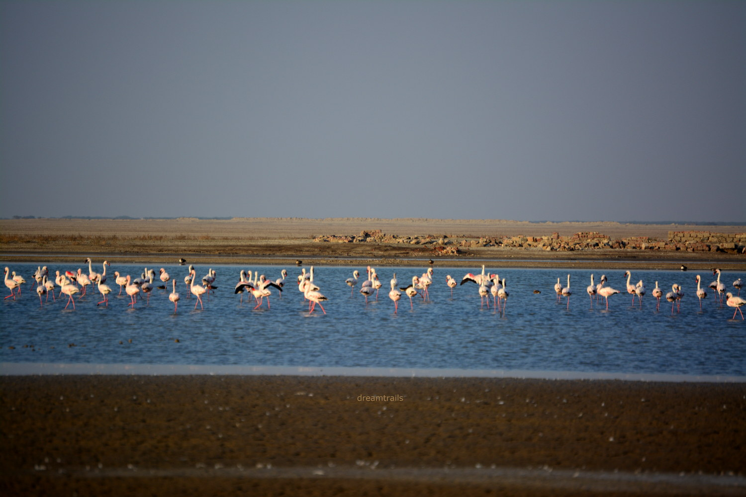 Flamingos at Little Rann of Kutch