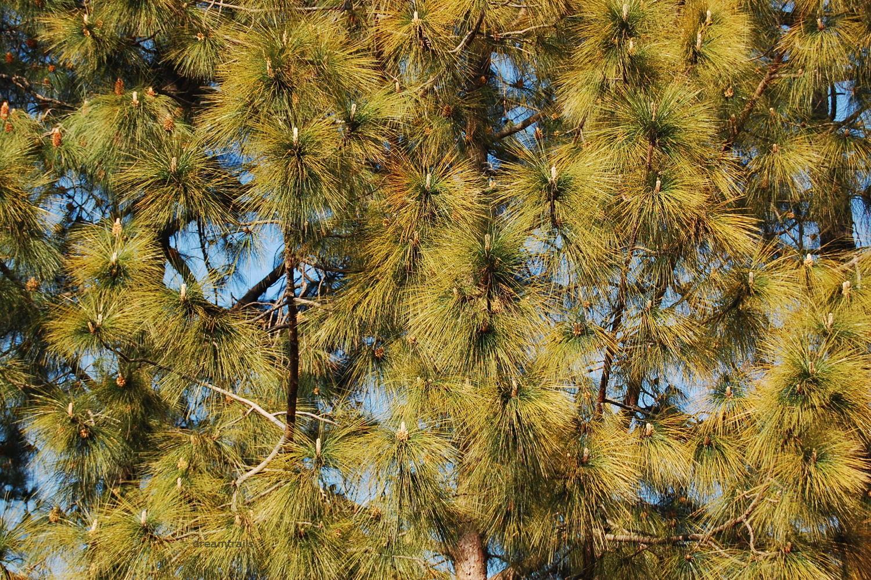 Trees near Shimla